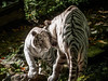 Affection (Qiou87) Tags: whitetiger affection tenderness tiger zoo zooparcdebeauval olympus closeup omd