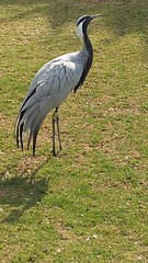 Crane (Rckr88) Tags: johannesburg johannesburgzoo zoo zoos crane birds animal animals gauteng southafrica south africa nature outdoors travel