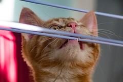 I thought it was Spaghetti. (Evoljo) Tags: dougal cat pussy bite ginger kitten fur teeth nikon d500