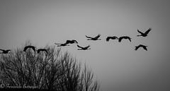 pasaron las grullas (barragan1941) Tags: aves avesenvuelo blancoynegro gallocanta grullas zancudas