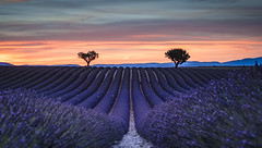 Living in Purple (Frederic Huber | Photography) Tags: 1124 1635 2017 2470 70200 landschaft canoneos5dsr eos fotodiox france frankreich frederichuber freearc landscape lavendel lavender leefilters photography provence wonderpana wwwfrederichubercom