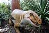 Dimetrodon (Kordite) Tags: pittsburghzoo animalia chordata sphenacodontidae sphenacodontinae dimetrodon limbatus