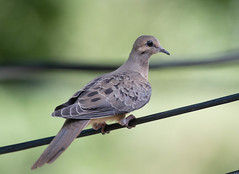 Mourning Dove (Laura Erickson) Tags: columbiformes stlouiscounty missouri kirkwood birds columbidae mourningdove species places susansplace zenaidamacroura