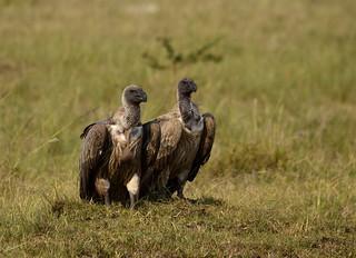 duo de vautours