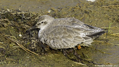 much needed rest (blackfox wildlife and nature imaging) Tags: canon 1dmkiv sigma150600mmossport seabirds knot hoylake wirral hightide