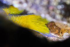 The Yellow Tail (Gomen S) Tags: fish macro animal wildlife nature cmc asia tropical hongkong hk china diving underwater autumn 2017 night sony sonyflickraward nauticam rx100v