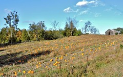 Field full of pumpkins (Will S.) Tags: mypics springbrook ontario canada road autumn fall field farm pumpkins