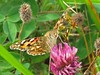 Painted Lady (Cynthia cardui) Butterfly 14th-Aug (Brian Carruthers-Dublin-Eire) Tags: painted lady cynthia cardui butterfly animalia arthropoda insecta lepidoptera nymphalidae nymphalinae nymphalini vanessa áilleán la belledame distelfalter paintedlady cynthiacardui cynthiaáilleán labelledame paintedladybutterfly animal nature wildlife ireland eíre