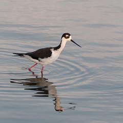 Black-Necked Stilt (_quintin_) Tags: stilt mountainview baylands shoreline lake ripples animal