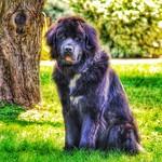 Lake Placid  ~ Dog Black Hairy Portrait thumbnail