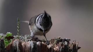 Crested Tit Video - Abernethy Oct 2017