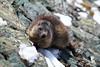 Grossglockner Hochalpenstrasse marmot (stanislaff) Tags: alps grossglockner hochalpenstrasse alpine road snow mountains peak peaks serpentine glacier pasterze gletscher september marmots hochtor landscape nature sky
