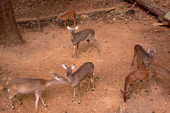 DILO September 22 2017 - Autumnal Equinox (1) (tommaync) Tags: dilo dilosep2017 september 2017 september222017 autumnalequinox northcarolina nc nikon d40 chathamcounty deer wildlife animals breakfast nature