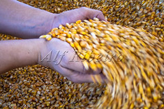 Alf 0026 - 0261 (Alf Ribeiro) Tags: agribusiness agriculture alfribeiro brazil brazilian cereal corn giving handful partof people rural wholegrain work agricultural business closeup crop cultivated farm farming farmland food growth hand harvesting heap holding human industry lifestyles merchandise nature only organic outdoors plant production seed sweetcorn vegetable wrinkled yellow milho grão semente mãos