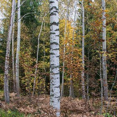 Birch (Stefano Rugolo) Tags: stefanorugolo pentax k5 smcpentaxda1855mmf3556alwr birch forest tree wood branches woodland nature landscape sweden hälsingland squarefomat foliage autumn fall