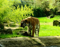 Marwell Zoo (Roy Richard Llowarch) Tags: tiger tigers cat cats bigcats marwell marwellzoo marwellwildlifepark wildlife wildlifepark wildlifeparks zoo zoos zoological zoology zoologicalparks hampshire hampshireengland england nature natural naturalbeauty animals indian beauty beautiful travel travelling places beautifulplaces walks walking beast beasts families familyfun outings september 2017 countrywalks countryside mammals feline hunter killer royllowarch royrichardllowarch llowarch weekend weekends autumn sunshine sunny grass bush trees awesome