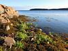 rockweed & sea aster