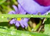 Purple daisy droplets (abiward) Tags: daisy purple yellow reflection morningdew droplet waterdroplets closeup macro macrophotography nikon flower