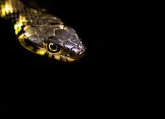 Enter Stage Left (Peter Quinn1) Tags: reptile snake grasssnake centenaryriversidenaturereserve rotherham southyorkshire riverdon donvalley swt wildlifetrustforsheffieldrotherham