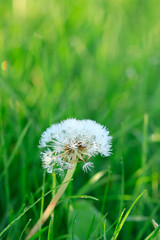 Dandelion (Angela-xujing) Tags: christians gospel dandelion plant white green loveofgod almightygod almightygodsword almightygod'swork easternlightning thechurchofalmightygod thelastdays truth light lovegod water nature
