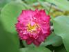 Nelumbo nucifera 'Red Narita' Lotus 012 (Klong15 Waterlily) Tags: rednarita lotus scaredlotus nelumbo nelumbonucifera redlotus lotusthai thailotus