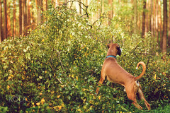 40/52 Is he gone? (Kerstin Mielke) Tags: boxerdog kurt 52weeksfordogs storm tree xavier