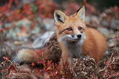 Fall Fox (Megan Lorenz) Tags: redfox fox animal mammal nature wildlife wild wildanimals fall autumn algonquinprovincialpark ontario canada mlorenz meganlorenz
