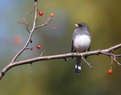 Junco in the Crabapple Tree (dshoning) Tags: odc avian junco crabapple october iowa ruleofthirds 52weeksof2017