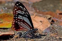 Papilio agestor - the Tawny Mime (BugsAlive) Tags: butterfly mariposa papillon farfalla schmetterling бабочка conbướm ผีเสื้อ animal outdoor insects insect lepidoptera macro nature papilionidae papilioagestor tawnymime papilioninae wildlife doisutheppuinp chiangmai liveinsects thailand thailandbutterflies ผีเสื้อเชิงลายดอย เชียงใหม่