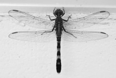 Mono dragonfly (Hammerhead27) Tags: wildlife mono insect wings dragonfly blackandwhite