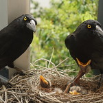 Charlotte, Bruce and the Currawong Chicks thumbnail