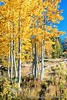 Ansel Adams Wilderness (Gary Grossman) Tags: aspens goldenaspen fall fallcolor garygrossmanphotography trees autumn landscape landscapephotography anseladamswilderness easternsierra sierranevada mountains california nature