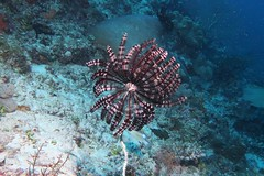 Featherstar (sarah.handebeaux) Tags: raja ampat diving indonesia indo pacific reef coral