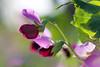 Futtererbse für die Landwirtschaft (hundertblumen) Tags: futtererbse erbse gegenlicht blüte