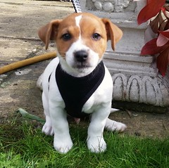 Jack Russell Puppy (nik.golding) Tags: jackrussell russel russell jack dog pup puppy puppies animal brown white fur furry lead pet friend mansbestfriend new addition paws paw eye eyes nose young creature grass bestie besty beast cute adorable canine woof teeth dangerous hunter