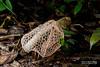 Bridal veil stinkhorn (Phallus sp.) - ESC_0198 (nickybay) Tags: malaysia borneo borneobootcamp sabah danumvalleyfieldcentre danumvalley macro bridal veil stinkhorn phallus phallaceae indusiatus phallales agaricomycetes basidiomycota