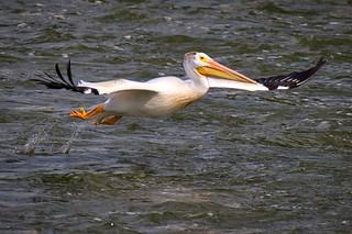 Dam Pelican:  Pushing Off!