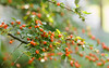 Autumn colors (1) (Inka56) Tags: 7dwf macroorcloseup hbw berries garden closeup bokeh bokehlicious dof