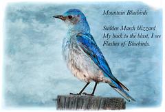 Mountain Bluebirds ~ Haiku (Johnrw1491) Tags: birds wildlife poetry illustrated writing digital fine art bluebirds snow storms nature desert