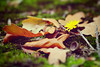 (Alin B.) Tags: alinbrotea nature atumn fall toamna september rusty leaves