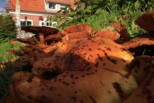 """Hallimasche (Armillaria) (16) • <a style=""""font-size:0.8em;"""" href=""""http://www.flickr.com/photos/69570948@N04/37482746344/"""" target=""""_blank"""">View on Flickr</a>"""