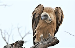 Waiting patiently over the kill. (pstone646) Tags: vulture bird animal nature wildlife fauna raptor feathers southafrica africa whitebackedvulture treetop