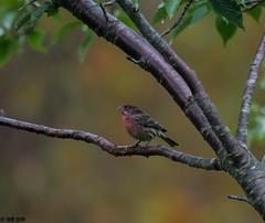 "Autumn touch!! (""DEB"") Tags: housefinch bird ctbird autumn fa d500 nikon200500mm"