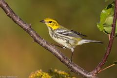 BJ8A2371-Black-throated Green Warbler (tfells) Tags: blackthroatedgreenwarbler migration bird nature wildlife newjersey baldpatemountain mercer