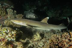 Squalo Pinna Bianca di Barriera, Immersione notturna A Mayaa Thila. White Tip Reef Shark in night dive at Mayaa Thila. (Triaenodon Obesus). (omar.flumignan) Tags: squalo pinnabianca immersione notturna whitetipreefshark nightdive mayaathila triaenodonobesus immersionenotturna arinord nothari atoll atollo maldive maldives vacanza holiday mysachika canon g7xmk2 fantasea fg7xmk2 ikelite ds51 allnaturesparadise ngc flickrtravelaward
