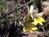 Iridaceae / Babiana patula (Proteus_XYZ) Tags: southafrica südafrika westerncape overberg swellendam bonteboknationalpark iridaceae babianapatula springflower frühlingsblume