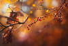 Morning lights (Pásztor András) Tags: nature bush red berry leaf autumn colors mood peaceful ligts sun sunrise bokeh bubble sky leafs trees forest morning atmosphere yellow 50mm f18 wide aperture dof dslr nikon d700 hungary andras pasztor photography 2017
