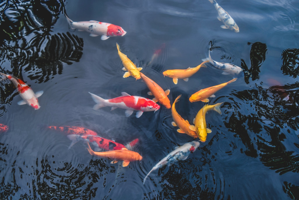 The world 39 s best photos of koi and water flickr hive mind for Koi pond color