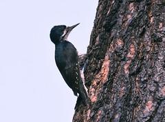 Black-backed Woodpecker (Christopher Lindsey) Tags: blackbackedwoodpecker birds birding california evergreenroad yosemite tuolumnecounty