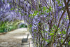 Tissue tunnel (cheezepleaze) Tags: wisteria tunnel bench parkbench spring flowers dof nature